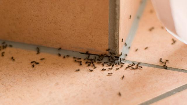 Mau Tau, Begini Cara Mengusir Semut dari Rumah
